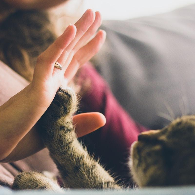 Chat animal domestique
